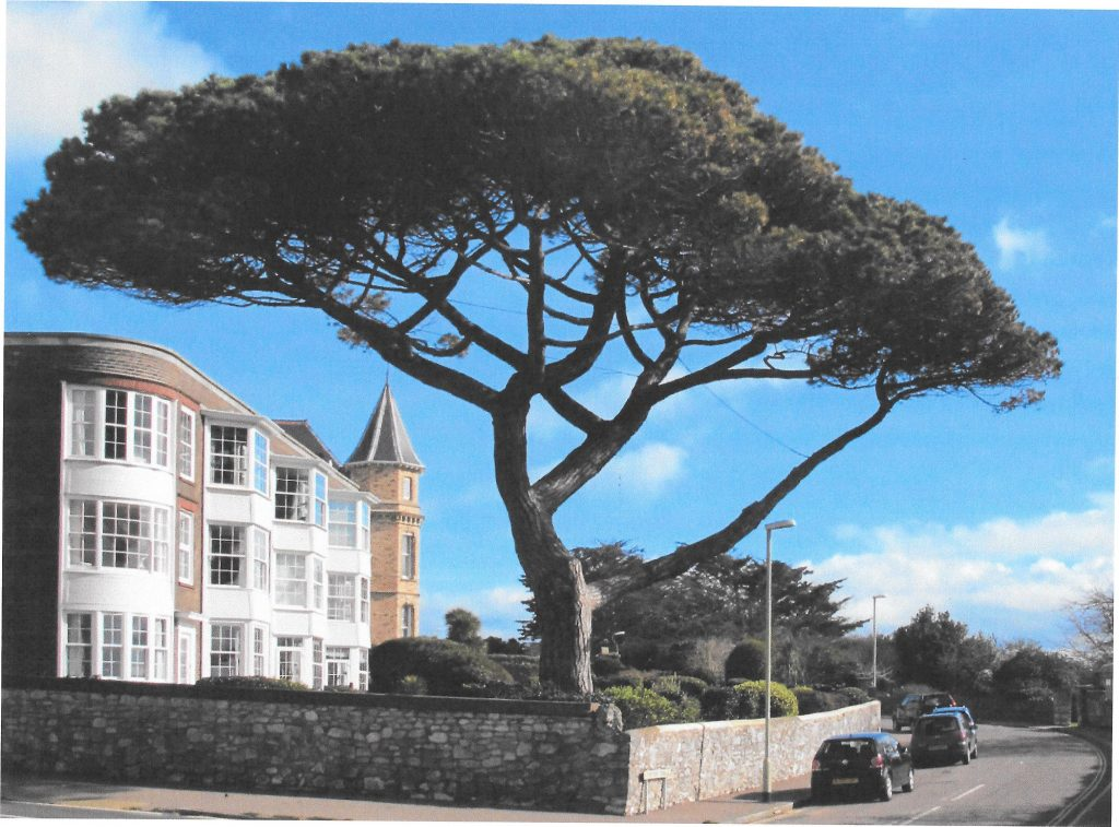 Iconic tree on the Corner of Carlton Hill, Exmouth, photograph taken by Irena Boobyer